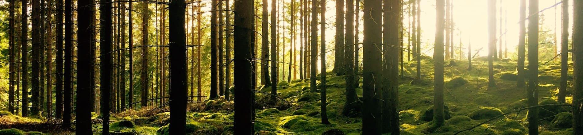 Forêt de pins et lumière du soleil levant